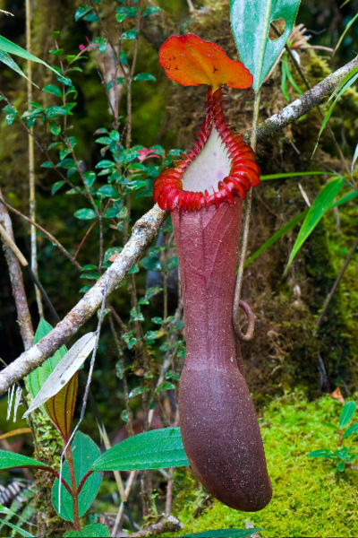 400px-Nepenthes_edwardsiana_entire_ASR_052007_tambu